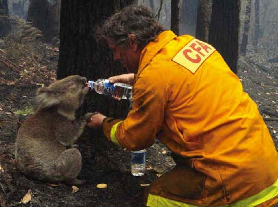 Strażak pomaga niedźwiadkowi Koala podczas pożarów w Australii. (2009)