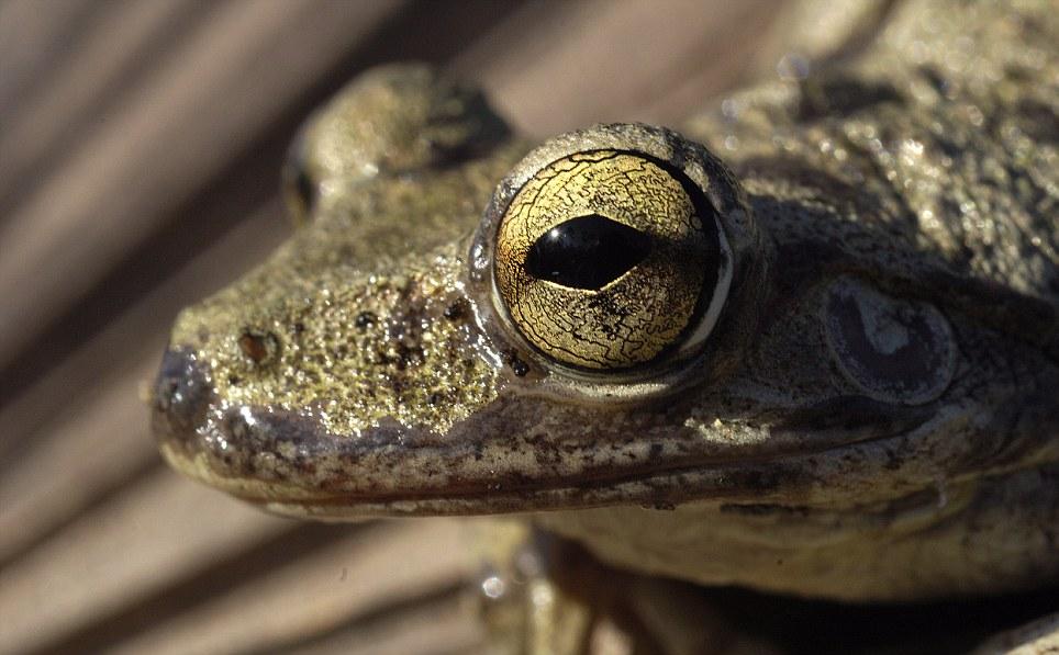 kubańska żaba drzewna