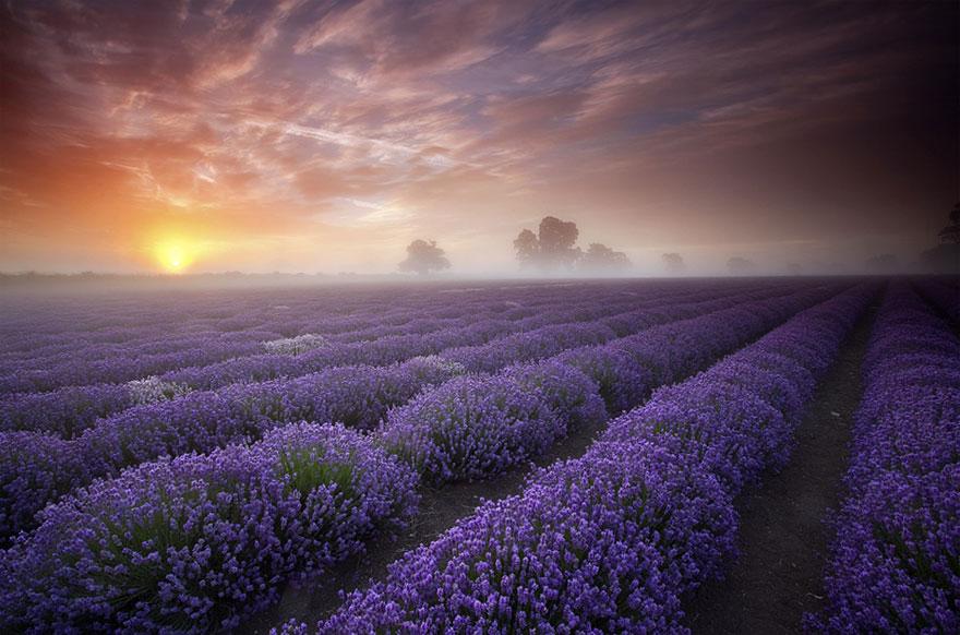 Pola lawendowe (Francja)