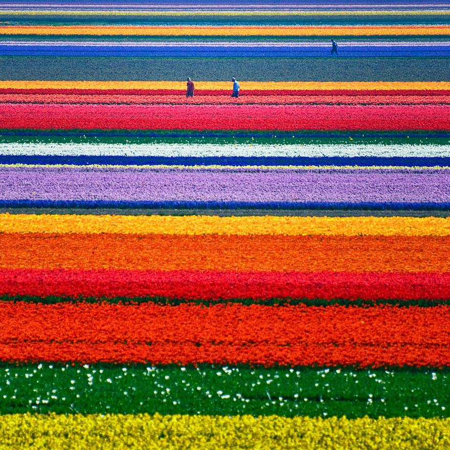 Pola tulipanów (Holandia)