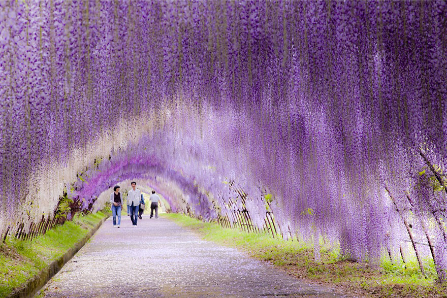 Wisteria Flower Tunnel (Japonia)