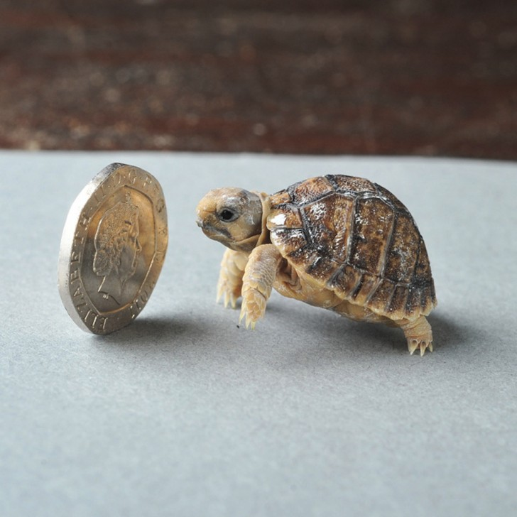 Żółw egipski (przy okazji najmniejszy żółw lądowy)