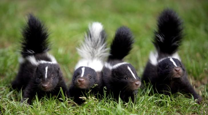 Skunksy