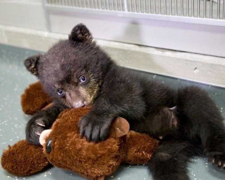 Baribal (czyli niedźwiedź czarny)