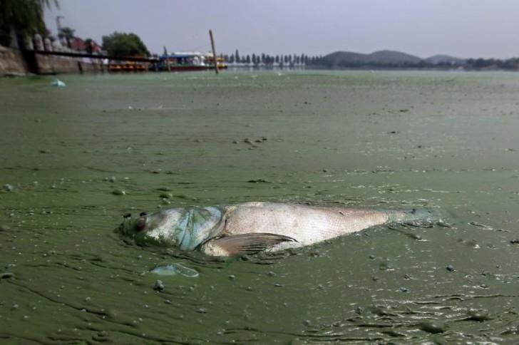 Martwa ryba otoczona glonami. Jezioro Wschodnie, Wuhan.