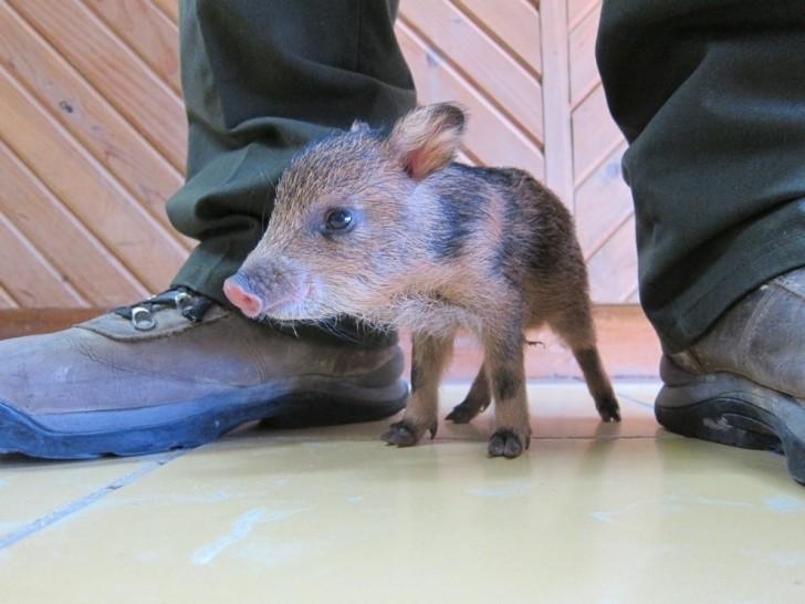 Pekari (spokrewniona ze świniowatymi oraz hipopotamowatymi)