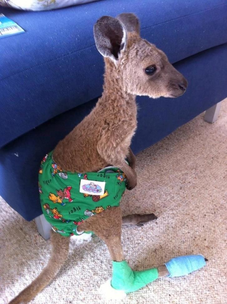 Kangur (o imieniu Joey - uratowany z pożaru lasu)