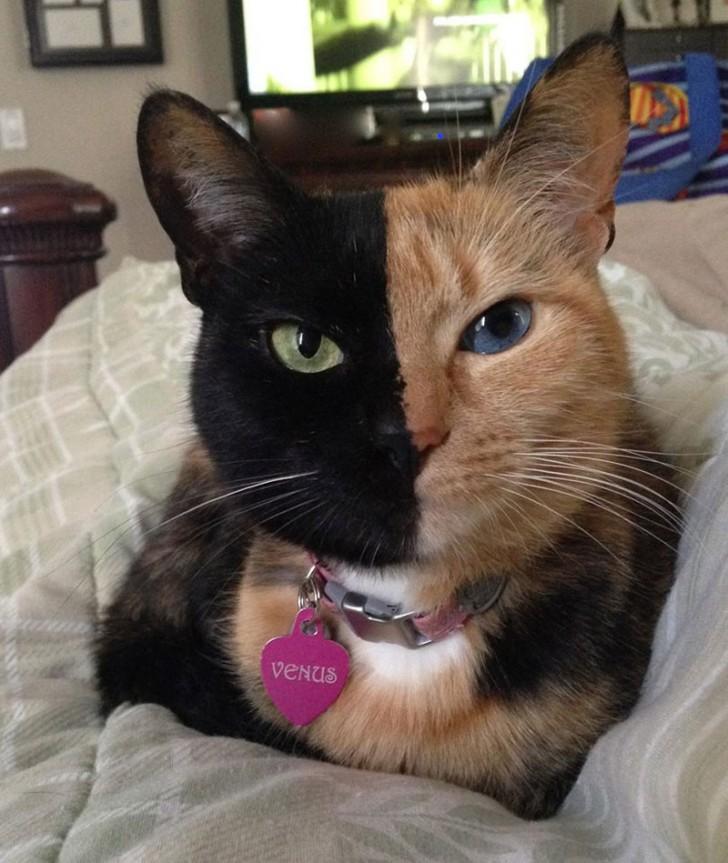 Ten kotek to chimera - organizm powstały na skutek połączenia dwóch zapłodnionych komórek jajowych.