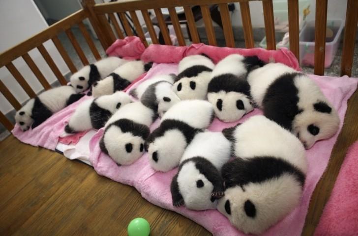 Pandy Wielkie (w Chengdu Panda Base - ośrodku hodowli zagrożonych gatunków)