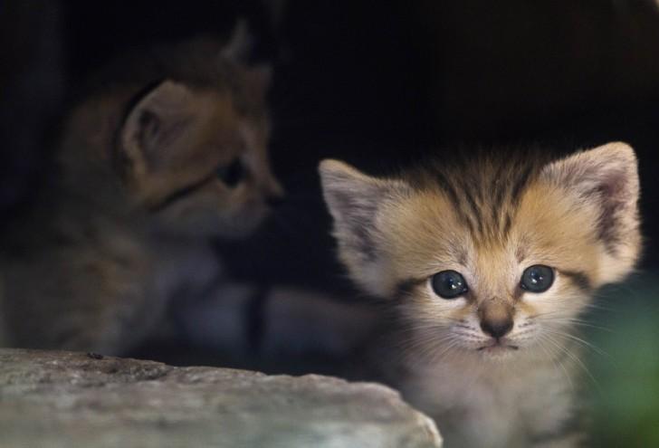 Kot arabski (kot piaskowy)