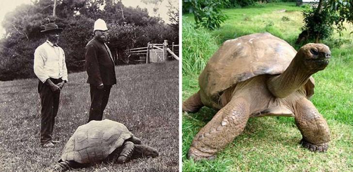 Żółw Jonathan w 1902 roku i obecnie. Ma 182 lata i jest prawdopodobnie najstarszym obecnie żyjącym zwierzęciem na ziemi.