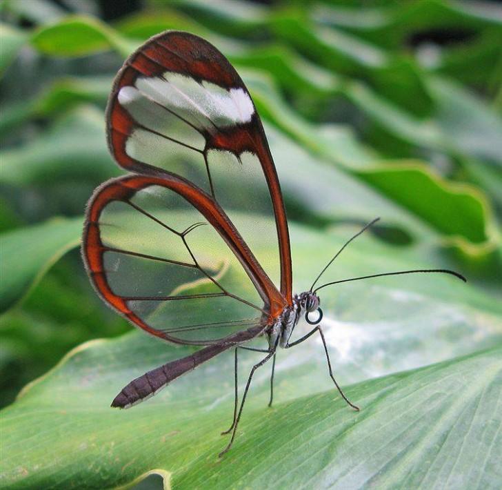 Motyl Greta oto