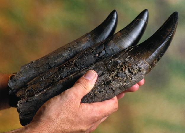 Skamieniałe zęby Tyranozaura Rexa