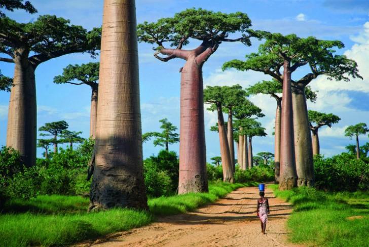 Aleja baobabów, Madagaskar
