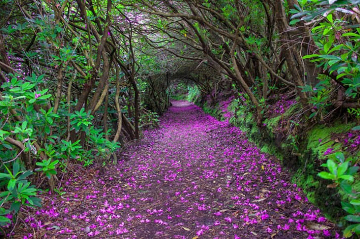 Tunel z rododendronów, Renagross, Kenmare
