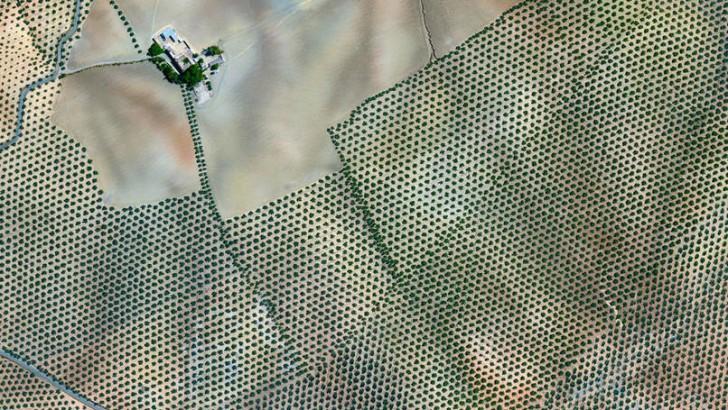 Plantacja drzew oliwnych, Córdoba, Hiszpania
