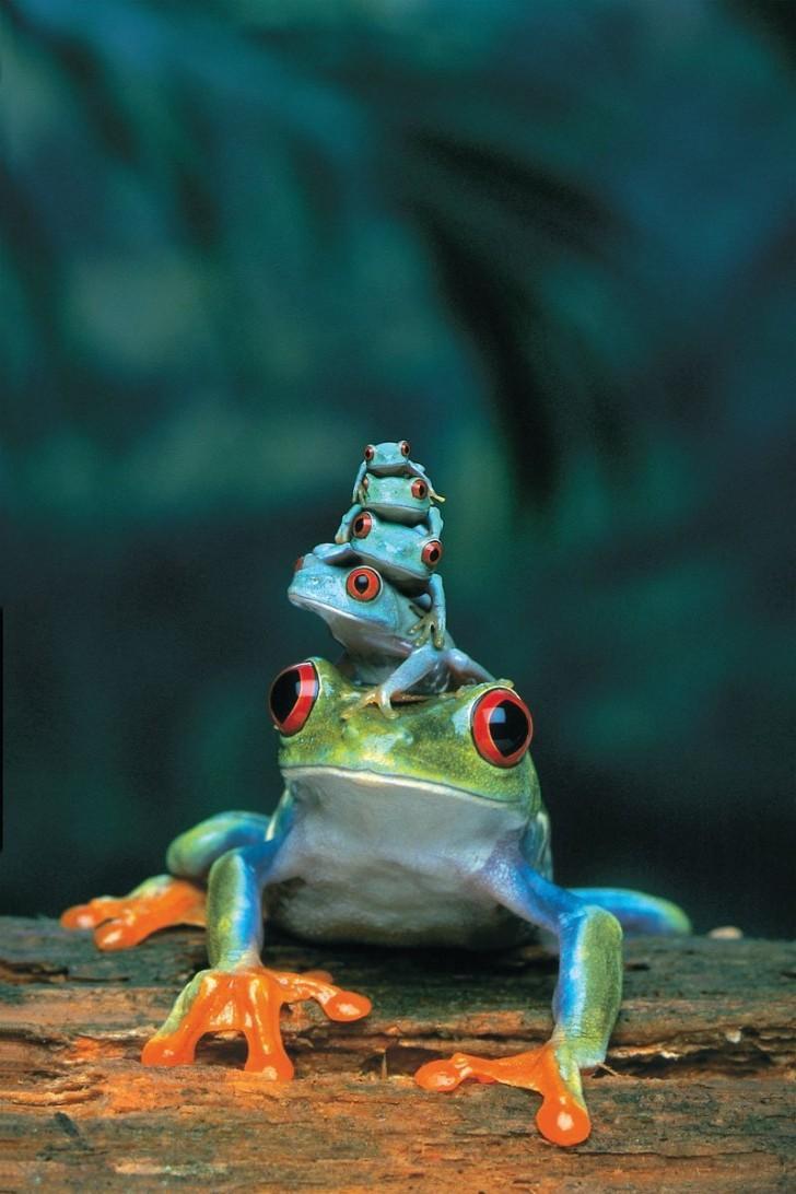 Żaba czerwonooka i jej dzieci
