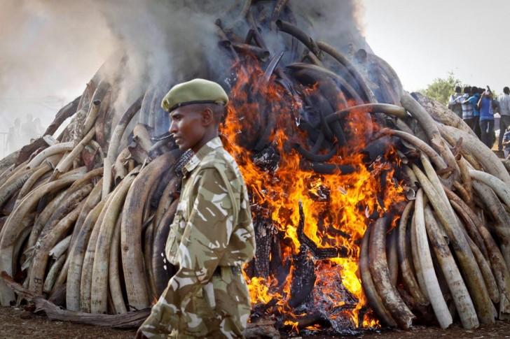 15 ton kości słoniowej odebranej kłusownikom spłonęło w Kenii