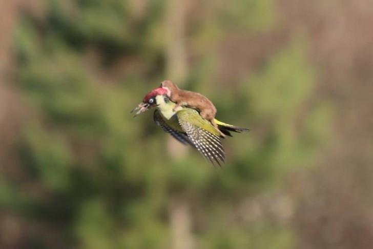 Młoda łasica lecąca na dzięciole.