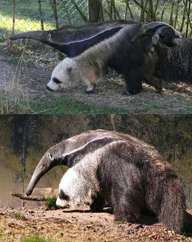 Noga tego mrówkojada nieprzypadkowo wygląda jak głowa pandy. To natura namalowała taki kamuflaż odstraszający