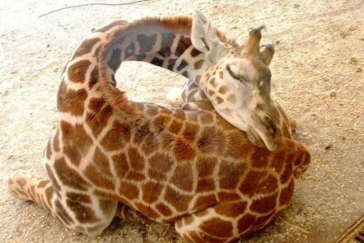 Śpiąca żyrafa