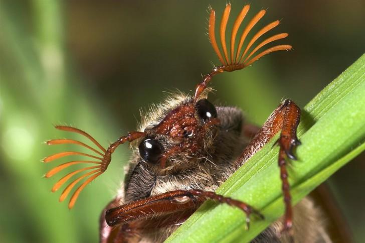 Główka chrabąszcza majowego - po ilości blaszek na buławkach można określić jego płeć - samce mają ich 7, a samice 6
