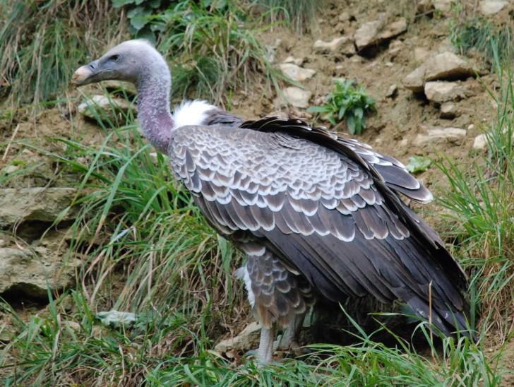Sęp himalajski, wikipedia