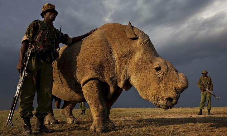 Ostatni samiec nosorożca białego północnego na świecie. Jest pod stałą opieką uzbrojonej straży, która czuwa nad nim 24 godziny na dobę