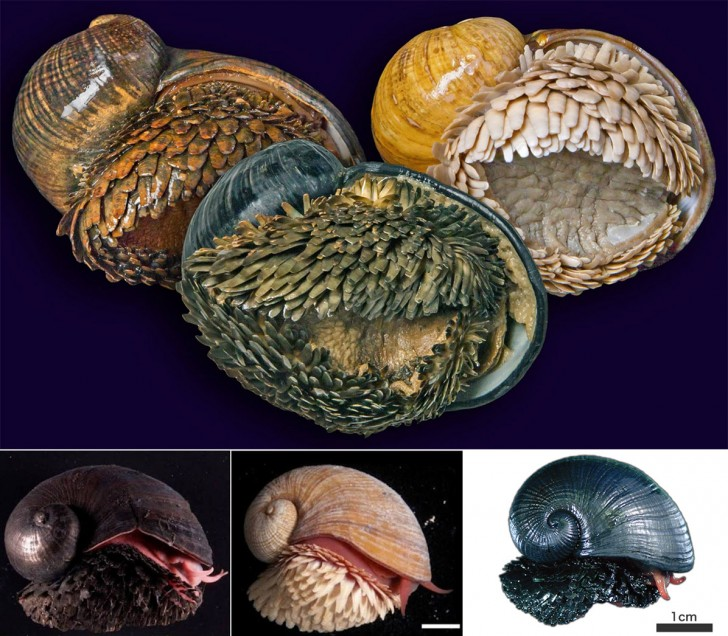 Scaly-foot_gastropod