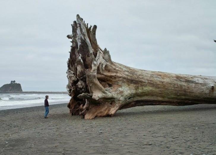 To drzewo zostało wyrzucone na brzeg