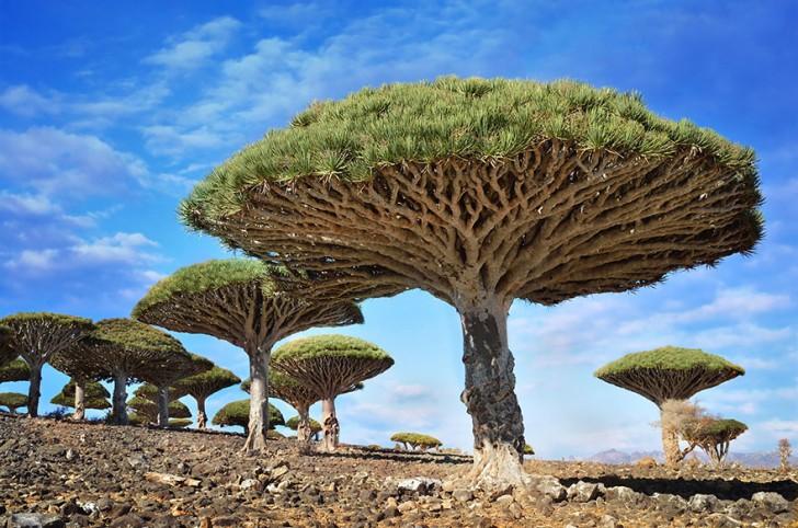 Dracaena cinnabari - drzewa na wyspie Sokotra, Jemen
