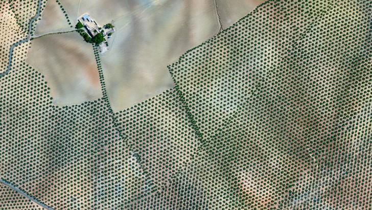 Plantacja krzewów oliwnych, Kordoba, Hiszpania