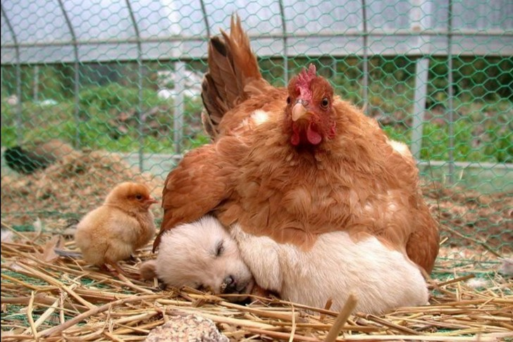 chickenpuppy