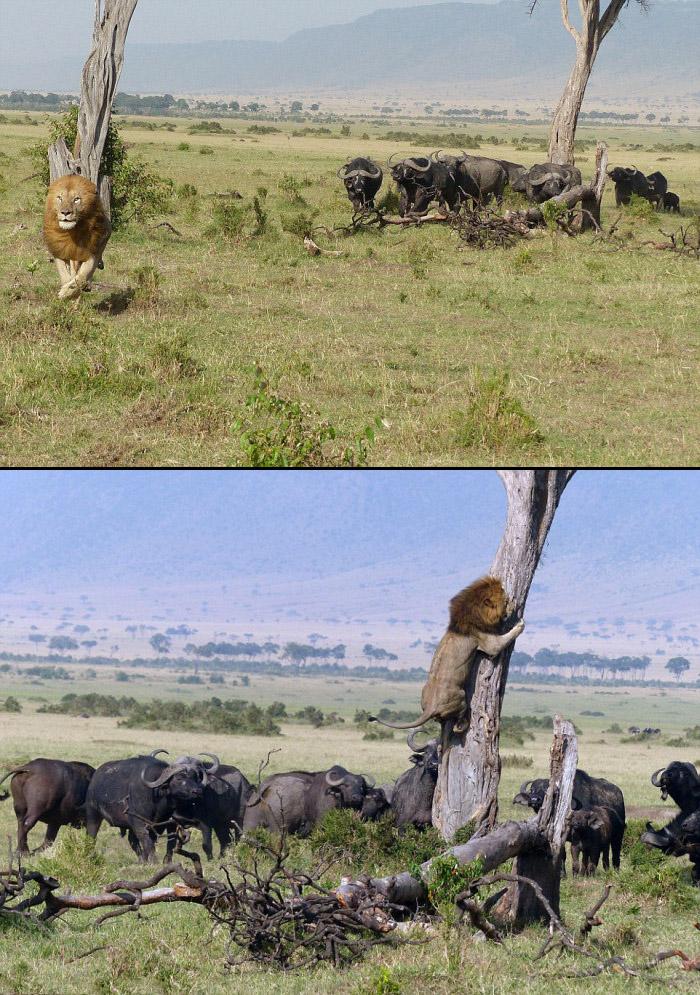 lionbuffalo