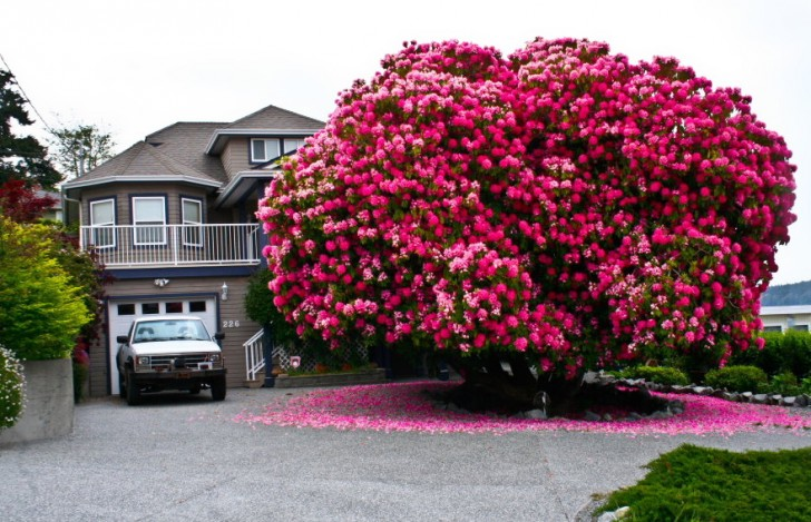 01 - 125 Year Old Rhododendron Tree In Canada