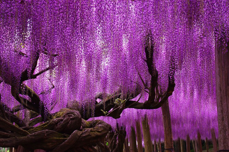 02 - 144-Year-Old Wisteria In Japan