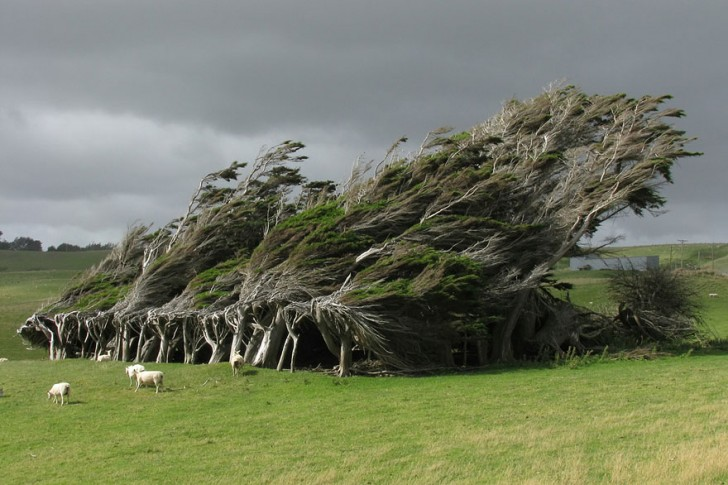 04 - Wind-Swept Trees In New Zealand