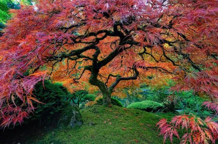05 - Beautiful Japanese Maple In Portland Oregon