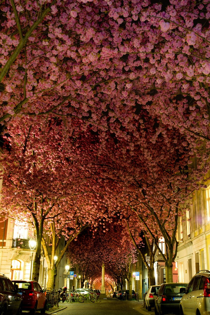 08 - Blooming Cherry Trees in Bonn Germany