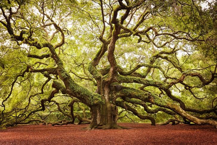 09 - Angel Oak In Johns Island In South Carolina