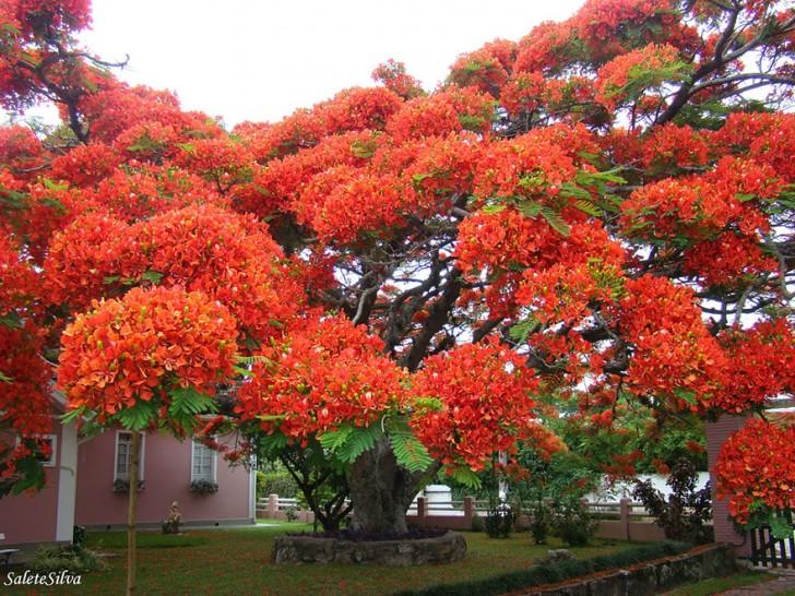 10 - Flamboyant Tree Brazil