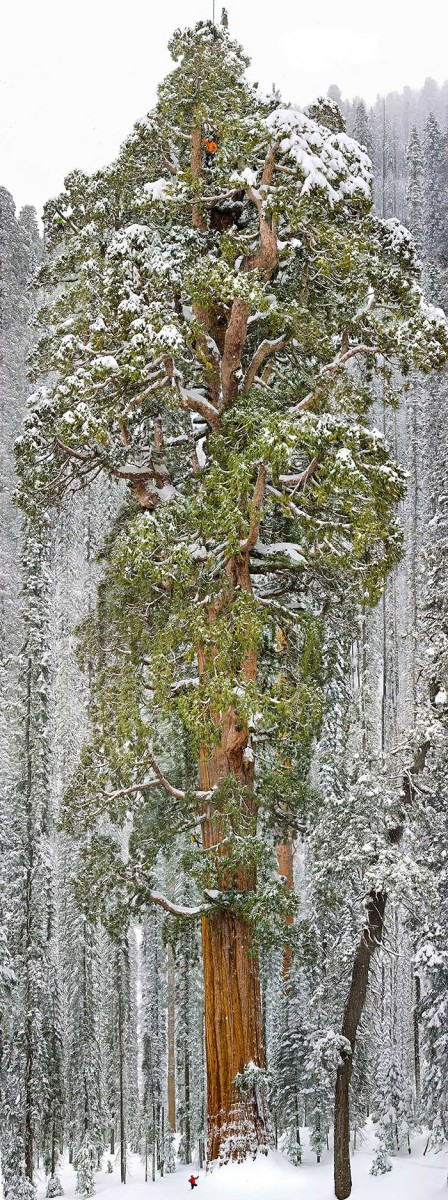12 - The President Third-Largest Giant Sequoia Tree In The World California