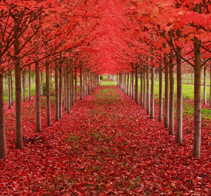 13 - Maple Tree Tunnel in Oregon