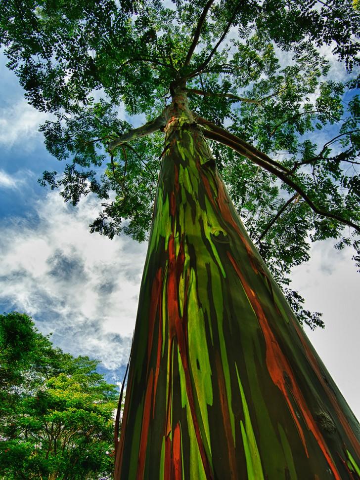 14 - Rainbow Eucalyptus In Kauai Hawaii