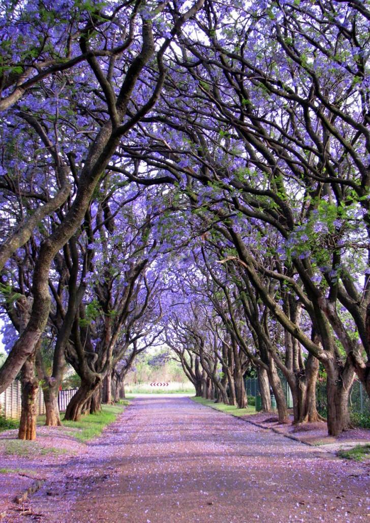 16 - Jacarandas in Cullinan South Africa