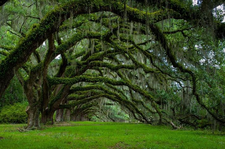 17 - Avenue Of Oaks At Dixie Plantation In South Carolina