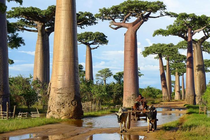 18 - Baobab Trees In Madagascar