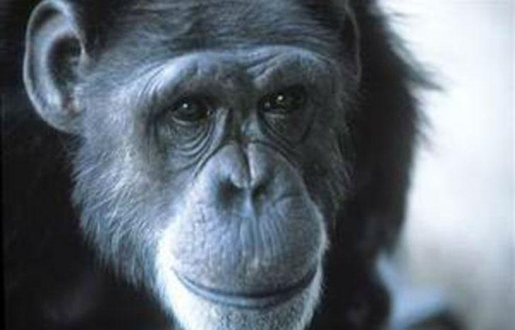 Oto historia Washoe – szympansicy, która nauczyła się posługiwać językiem migowym