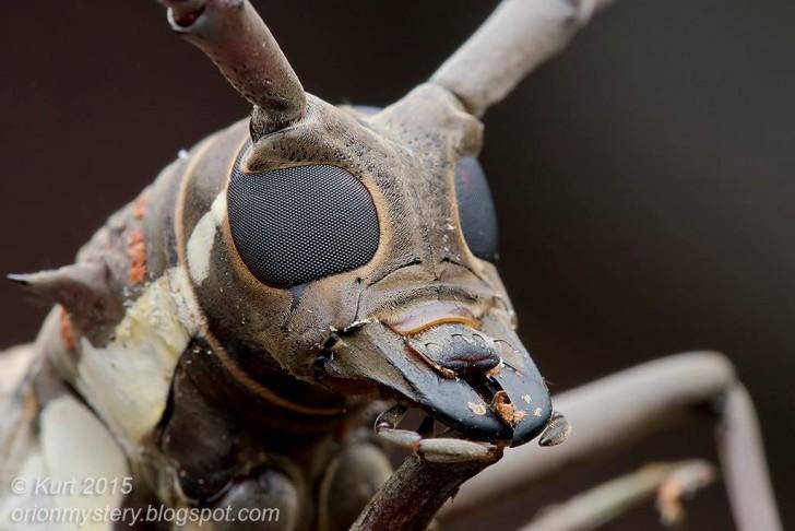 longhornbeetle