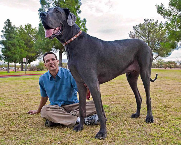 Pięć dużych (nawet bardzo) ras psów